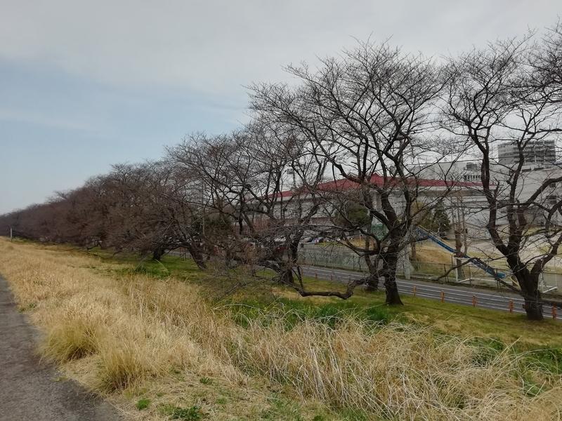 2019年3月21日午前10時頃の熊谷桜堤の開花状況