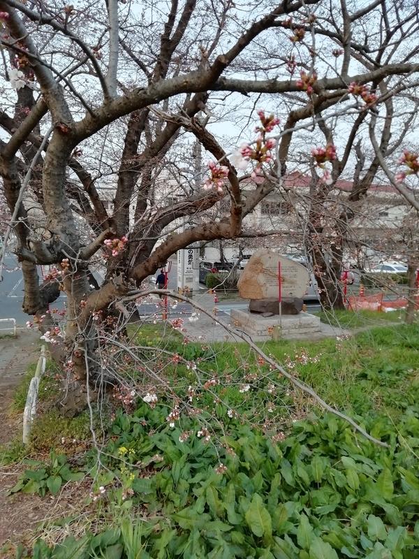 熊谷桜堤の開花状況@2019年3月27日