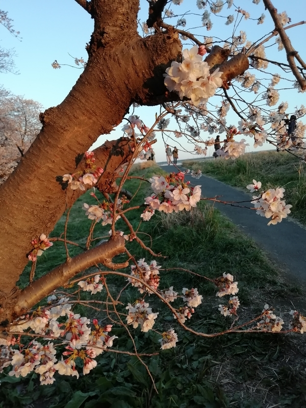熊谷桜堤の開花状況@2019年4月4日