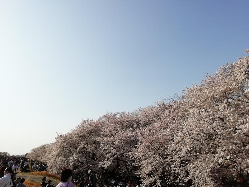 熊谷桜堤の開花状況@2019年4月6日