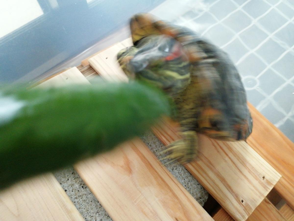 1本キュウリをきゅうりを見たヨモギ(亀)