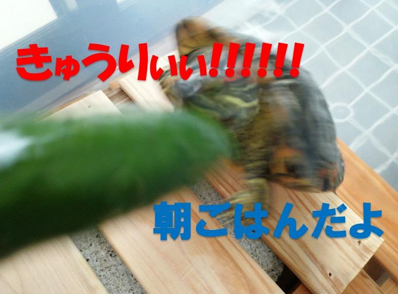 ヨモギ(亀)きゅうりの味を知る