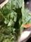 新鮮な白菜。棘がある!