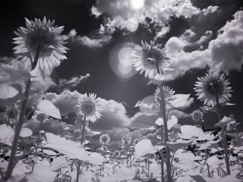 京都新聞写真コンテスト 向日の大輪