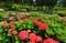 満開の紫陽花 三室戸寺