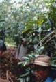 コーヒー豆生産組合