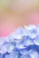 2012年6月13日 藤沢市遠藤の紫陽花