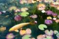 2016年7月30日 モネの池