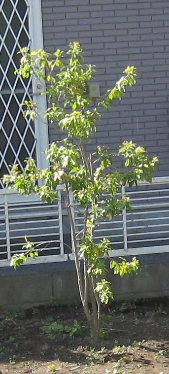 f:id:gardentime:20170511125953j:plain