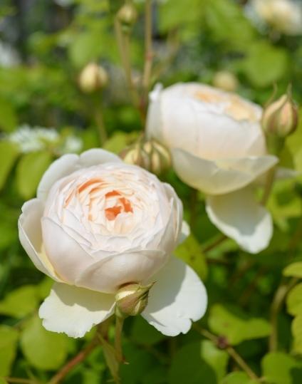 f:id:gardentime:20170516233316j:plain
