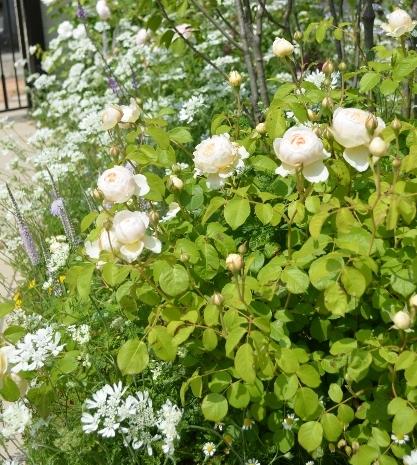 f:id:gardentime:20170522180706j:plain