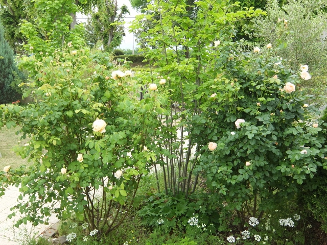 f:id:gardentime:20170522180712j:plain