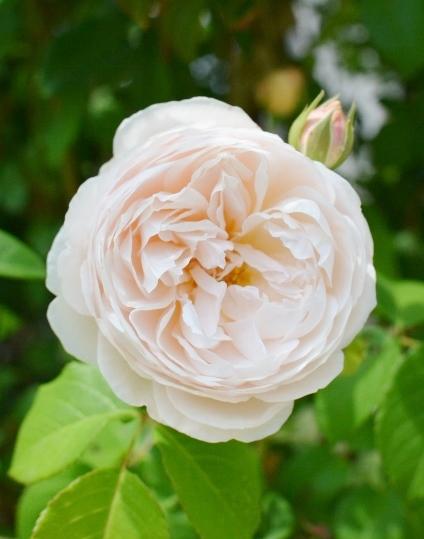f:id:gardentime:20170522184920j:plain