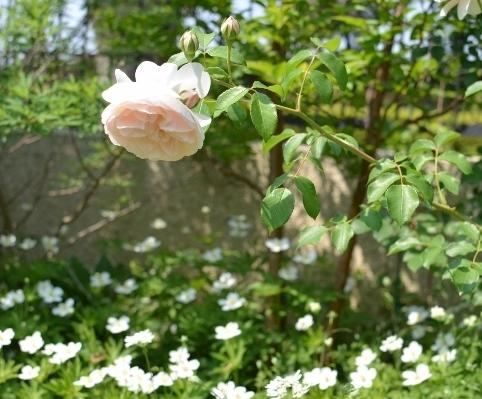f:id:gardentime:20170527213705j:plain