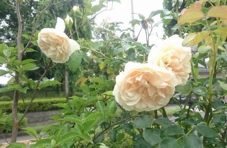 f:id:gardentime:20170527213706j:plain