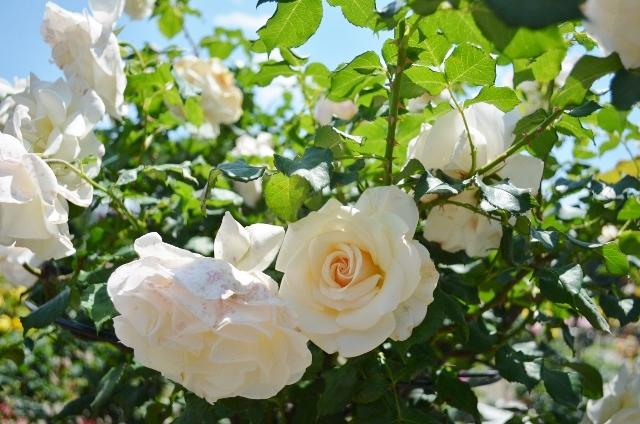 f:id:gardentime:20170530094104j:plain