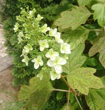 f:id:gardentime:20170603112056j:plain