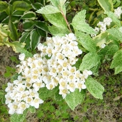 f:id:gardentime:20170603112059j:plain