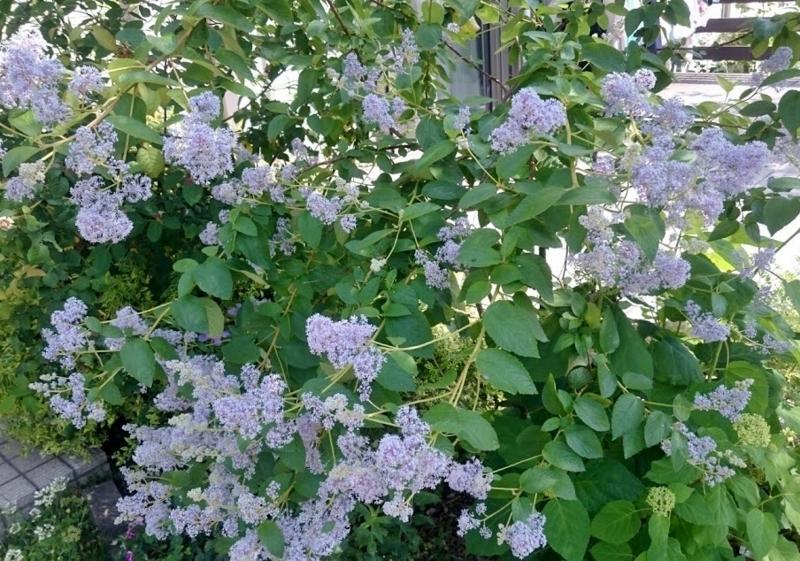 f:id:gardentime:20170603190019j:plain