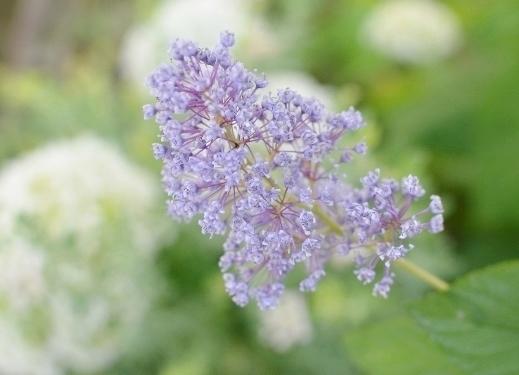 f:id:gardentime:20170623225114j:plain