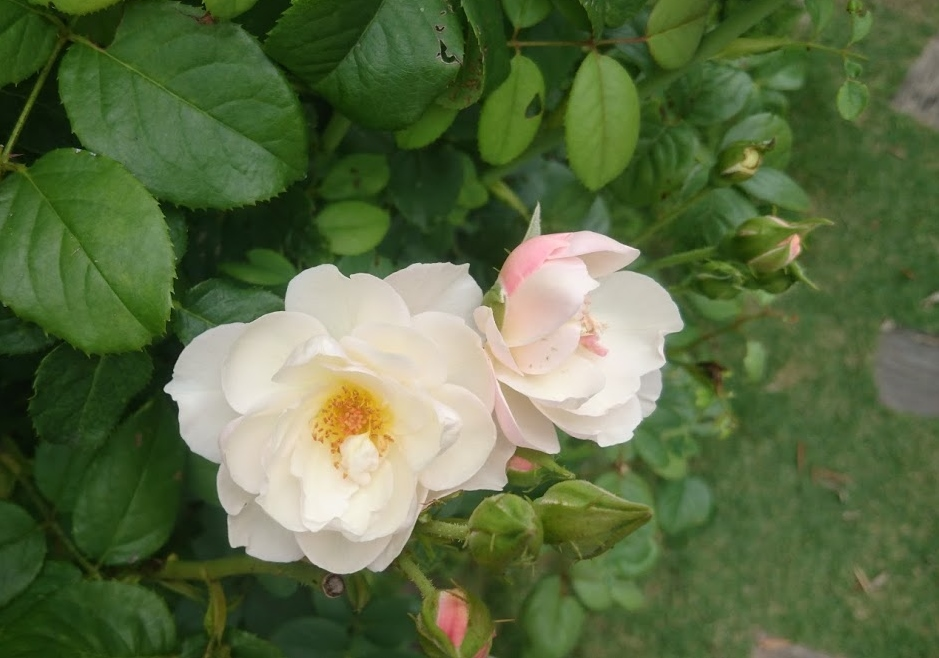 f:id:gardentime:20170804225245j:plain