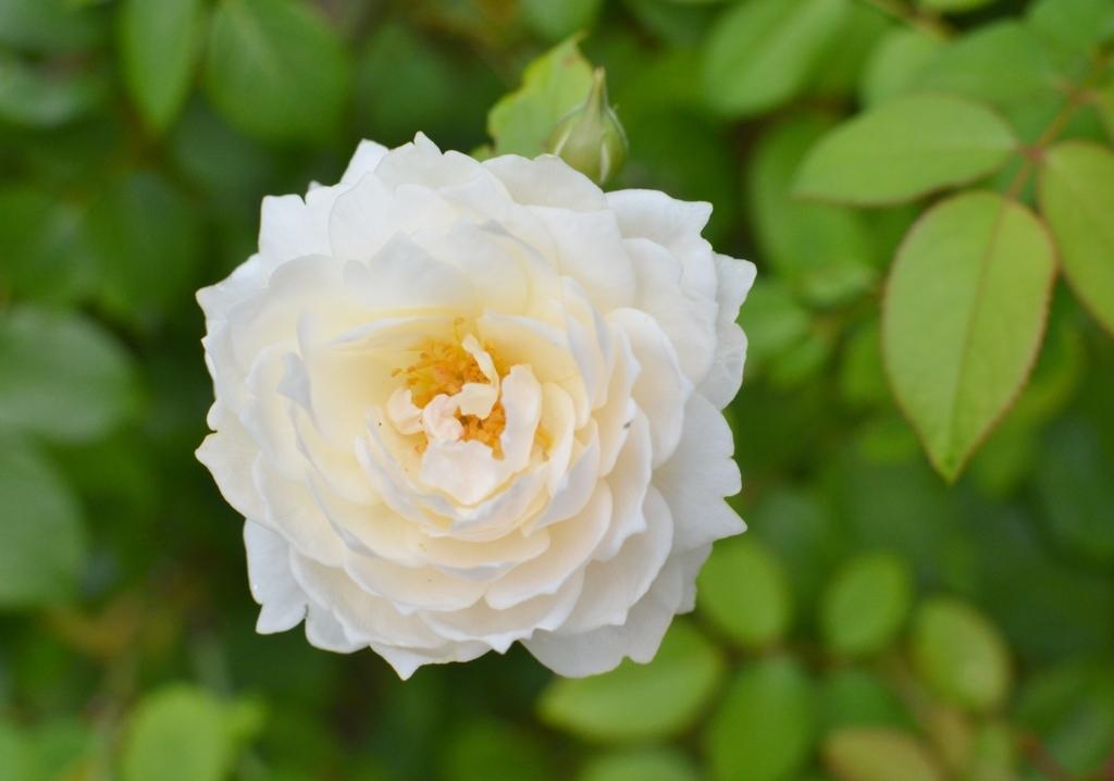 f:id:gardentime:20170817115542j:plain