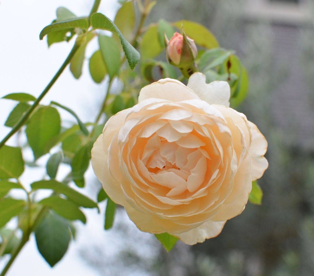 f:id:gardentime:20171006135956j:plain