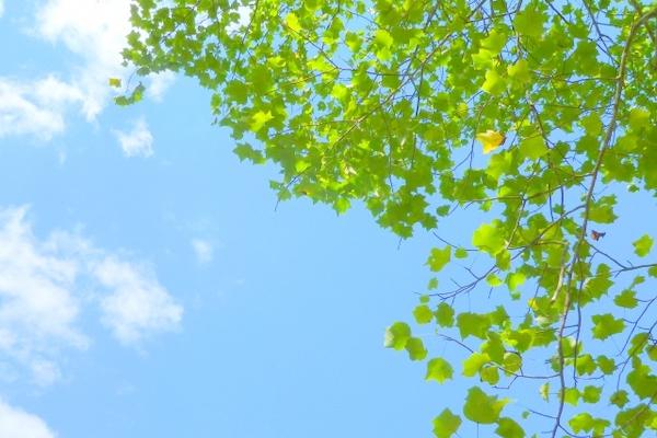 癒される青空と若葉の写真