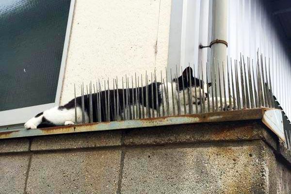 猫よけのトゲトゲの上で寝る猫