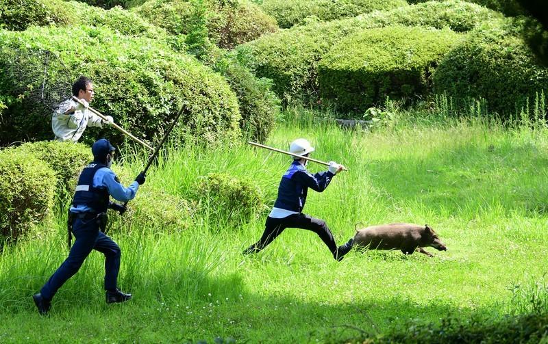 大濠公園イノシシ捕物劇 写真の躍動感