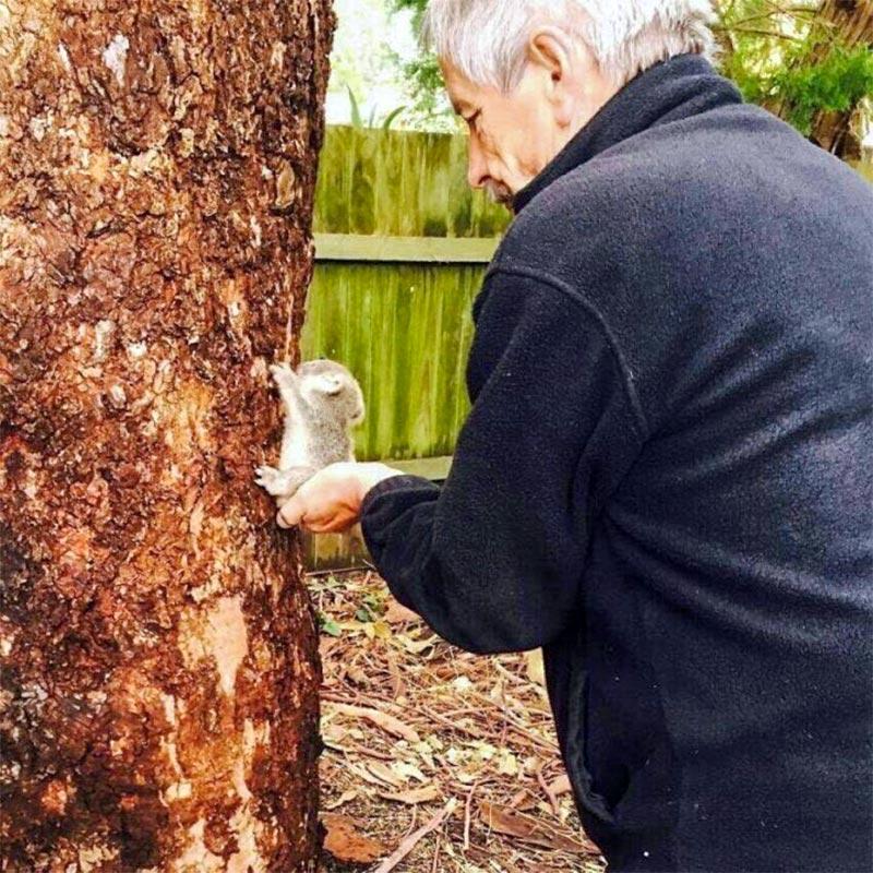 赤ちゃんコアラの木登り練習でお尻を支える仕事