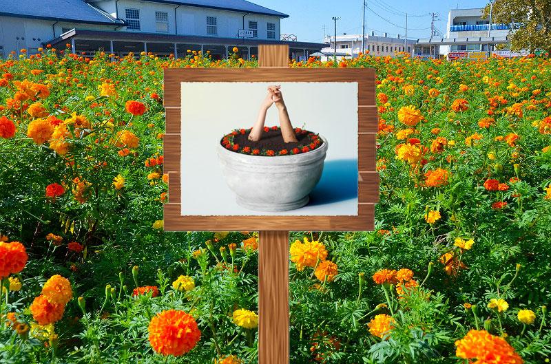マリーゴールド花畑に立て看板