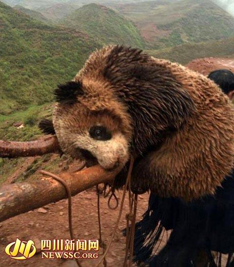 野生のジャイアントパンダを発見