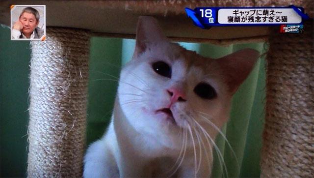 「日本一寝顔が酷い絶世の美猫セツちゃん」写真集発売