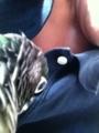 [Conure][ウロコインコ][ウロコインコ][インコ]くるみ(くーはポロシャツが好きなのー!)