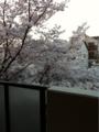 [桜][ソメイヨシノ]わが家の玄関を開けるとこんな感じ(^o^)
