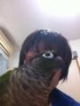 [Conure][ウロコインコ][ウロコインコ][インコ]くるみ(主役はくーだってば!)
