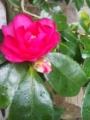 詩仙堂の庭の椿。