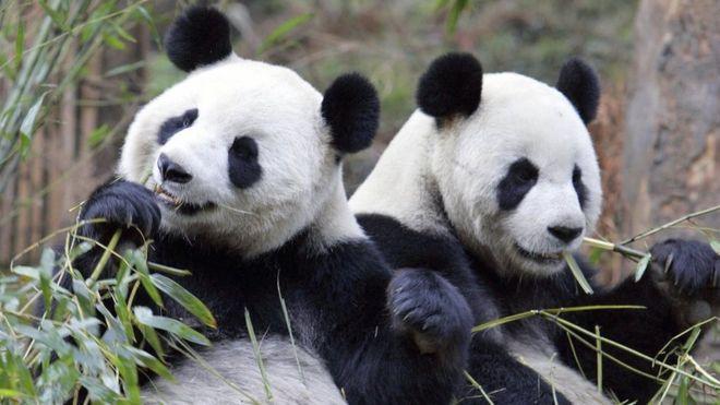 「パンダ語」を中国の保護研究センターが読解 - 動物を知り ...