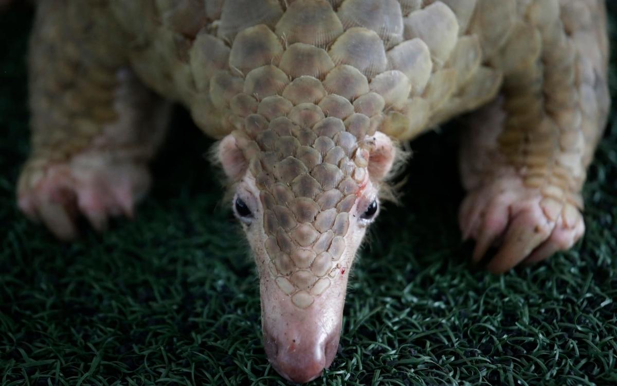 食べる センザンコウ 世界で一番密猟される哺乳類、センザンコウ  WWFジャパン
