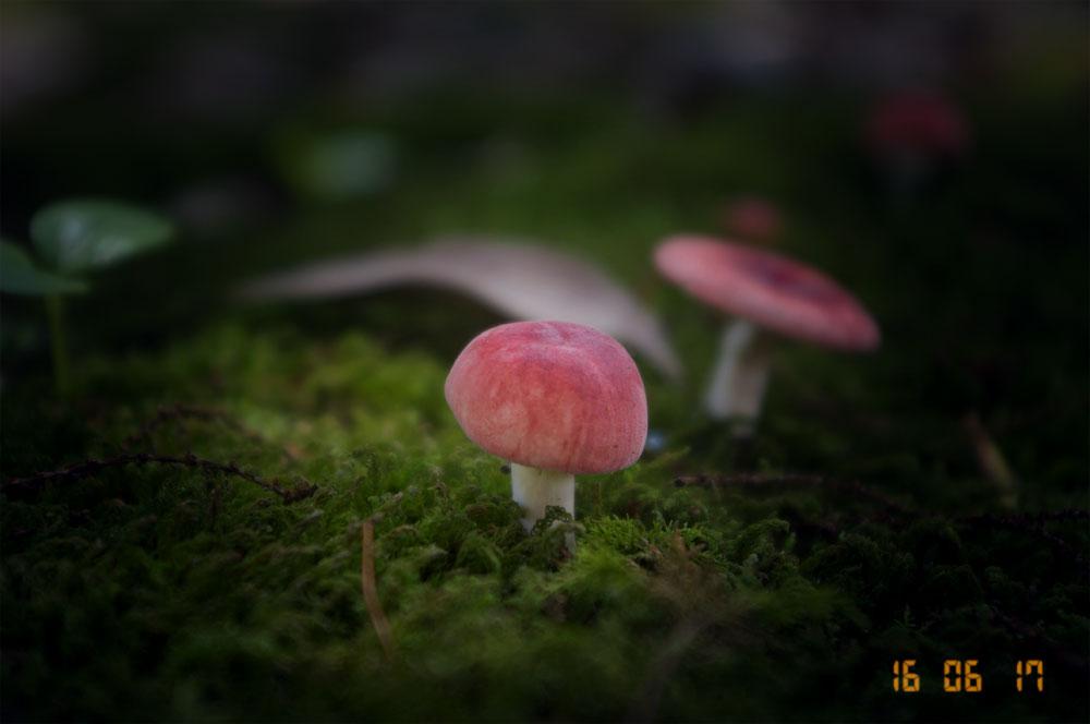 ニオイコベニタケ(Russula bella)- 菌コレ -