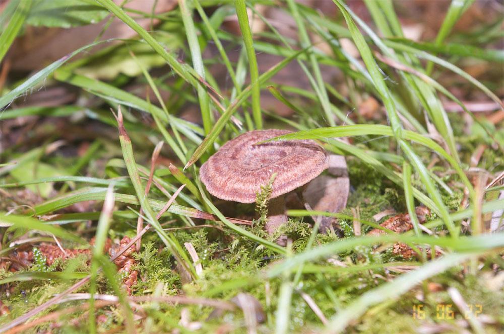 ニオイワチチタケ(Lactarius subzonarius)- 松江城マッシュルームマップ -