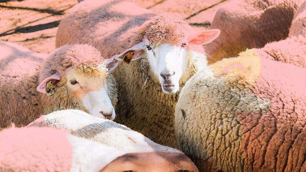 ぼくは羊の群れの中で、狼が来たぞと嘘をつく。