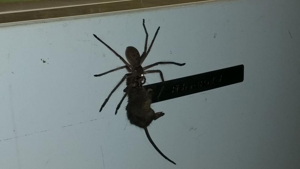 哺乳類を捕食する蜘蛛の映像、日常に潜む本当はコワい昆虫の恐怖。