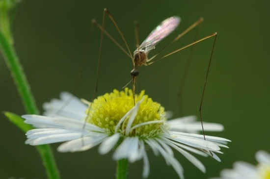 花の蜜を吸うガガンボ