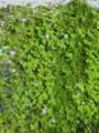 [植物]アサガオ