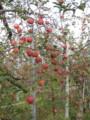 20111127_りんご狩り1