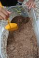 20130713_カブトムシ幼虫から成虫へ1