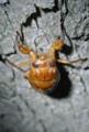 20130720_アブラゼミの幼虫2