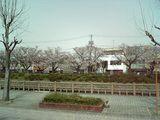 袋川 桜並木